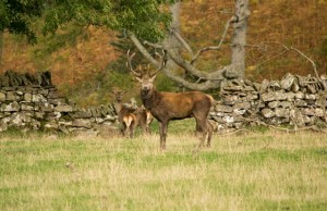 Stag and deer in Applecross
